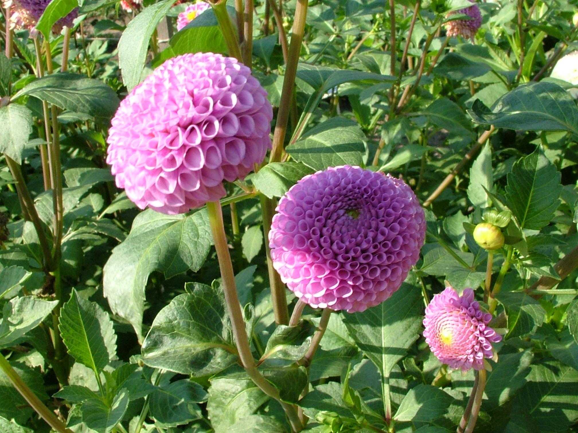 Фото круглых цветов