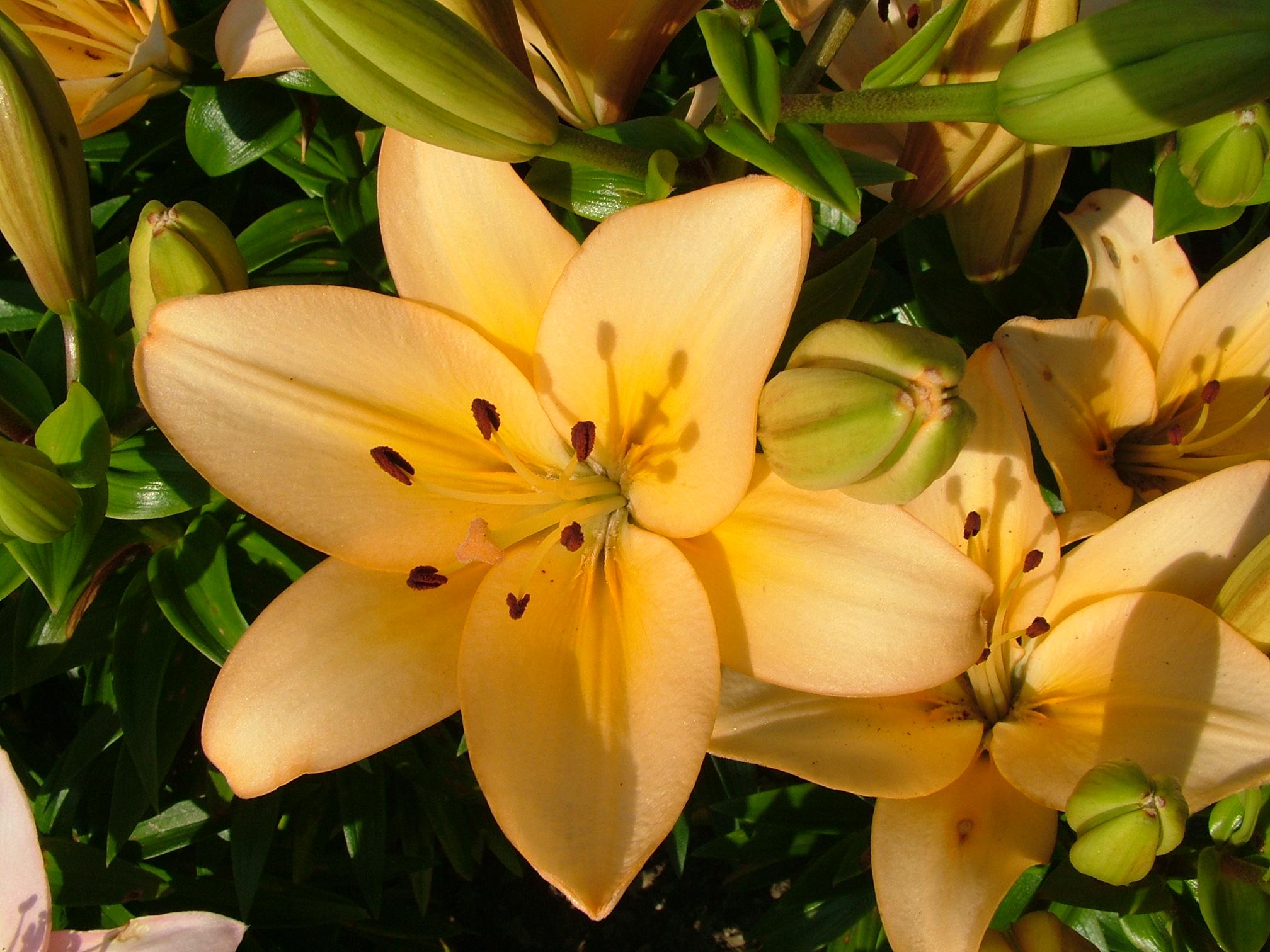 Каталог цветов лилии фото