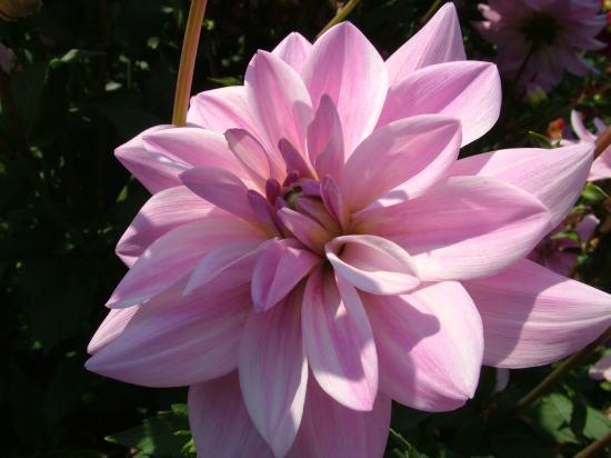 Joyeux Noël dans image bon nuit, jour, dimanche etc. 7art-00236_Dahlia-decorative-light-pink-flower