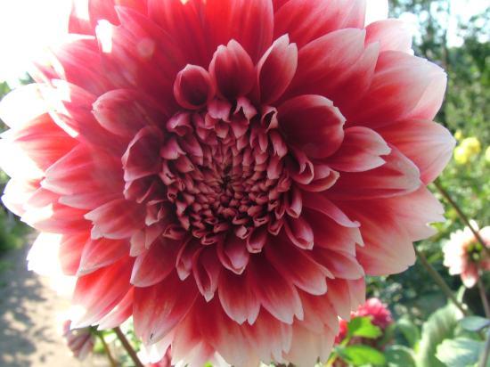 bonne nuit dans image bon nuit, jour, dimanche etc. 7art-00238_Dahlia-decorative-pink-white-flower