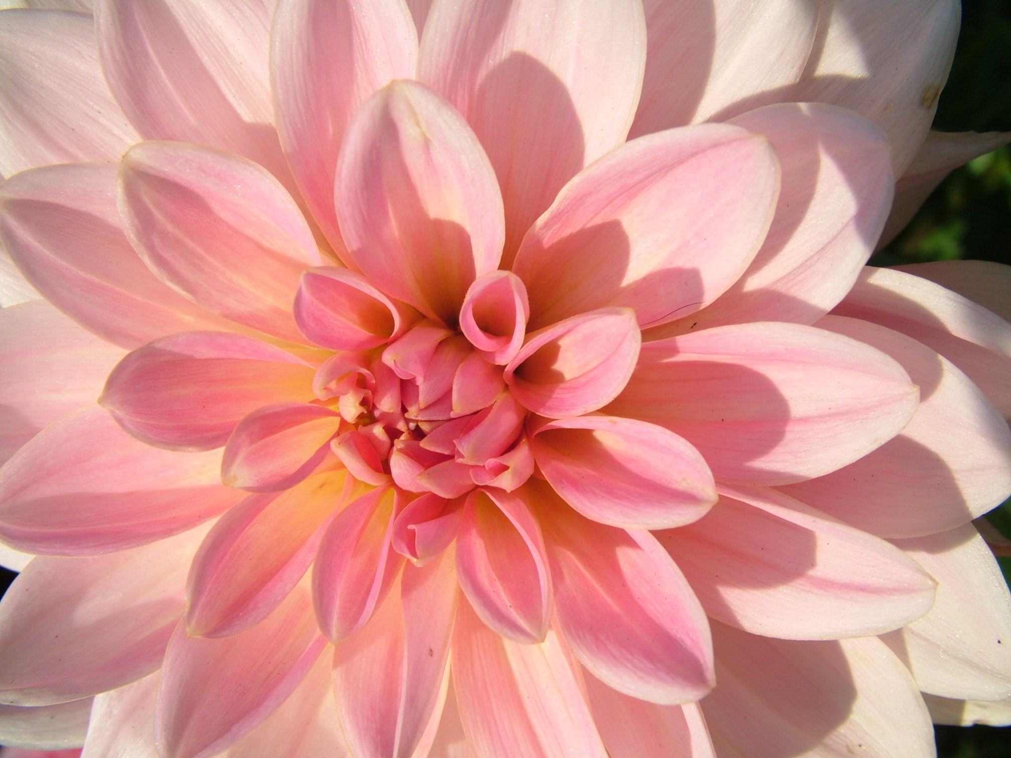 free 7art flowers clipart and wallpapers: royalty free dahlia