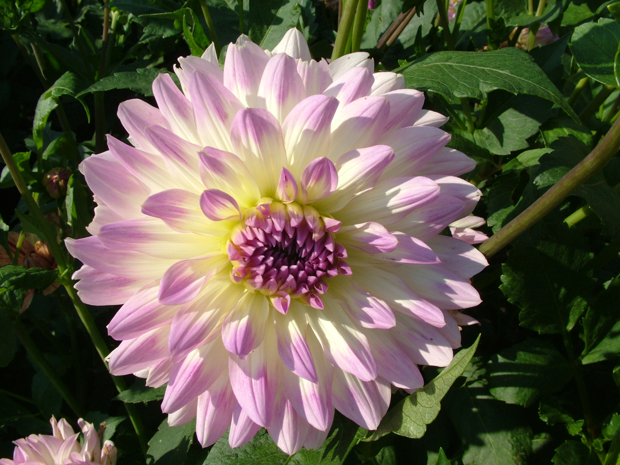 Free 7art Flowers Clipart And Wallpapers Royalty Free Dahlia
