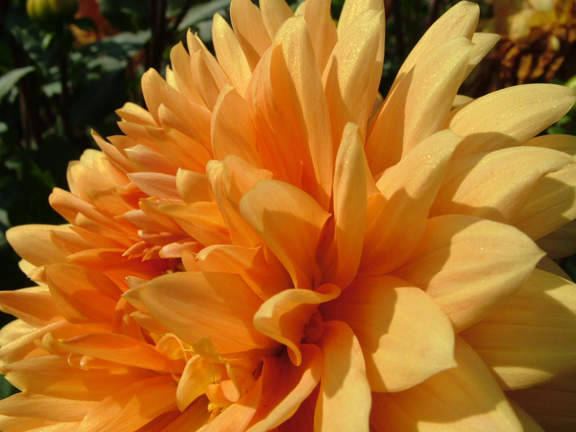 yellow dahlia flower - photo #43