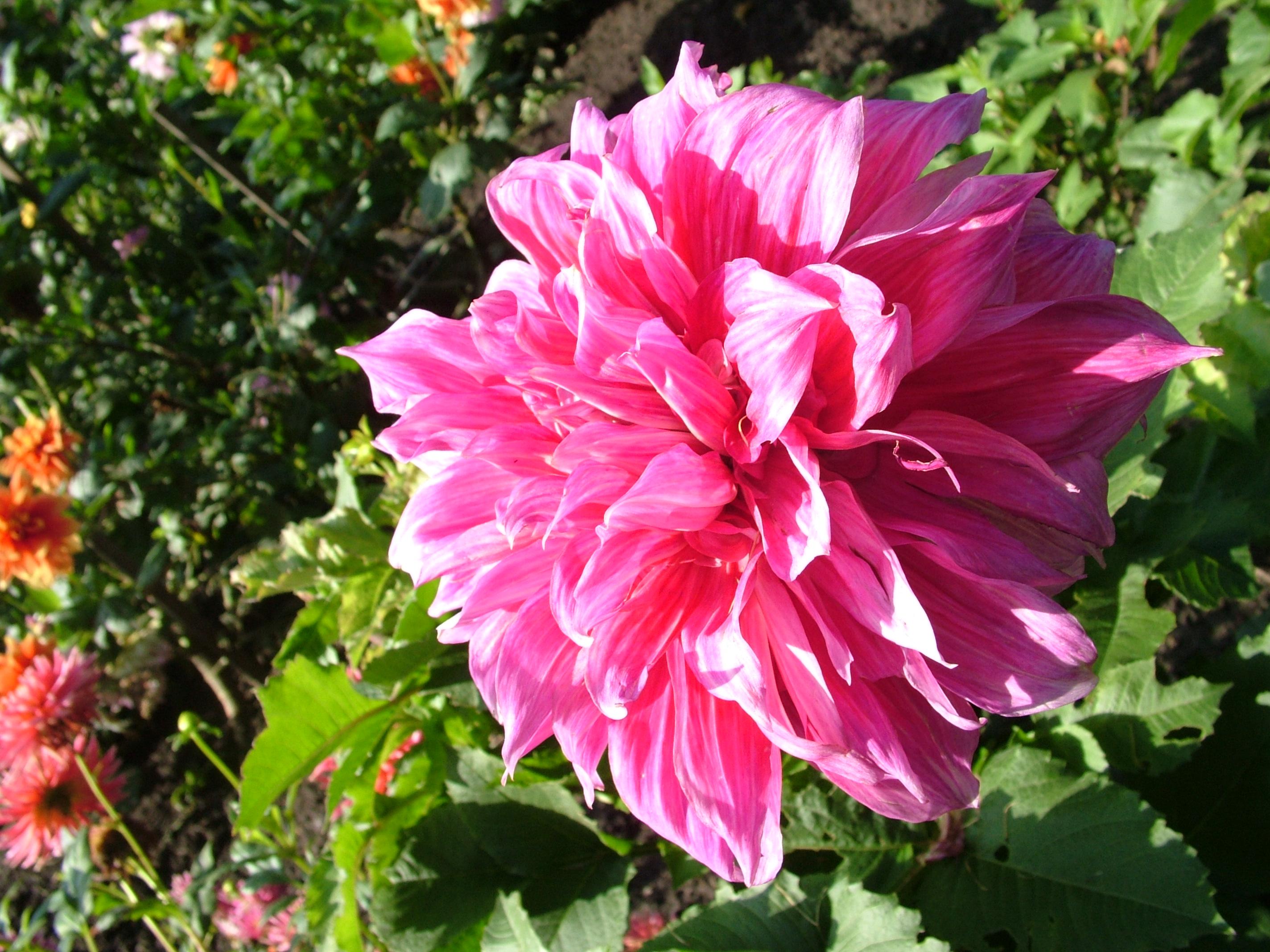Border Dahlia Collection Dutch Gardens - induced.info