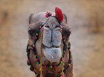 click to browse free 7art camels gallery