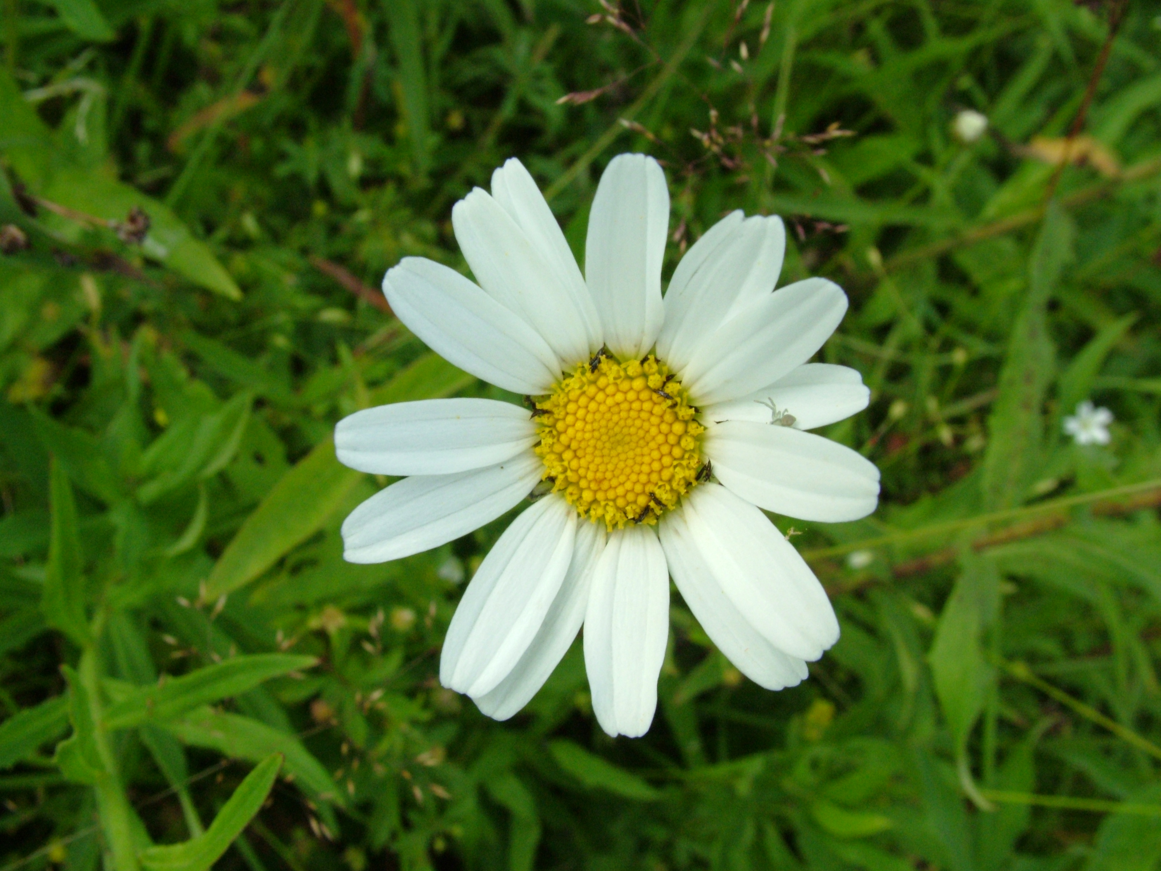 download daisy insects image in hi res