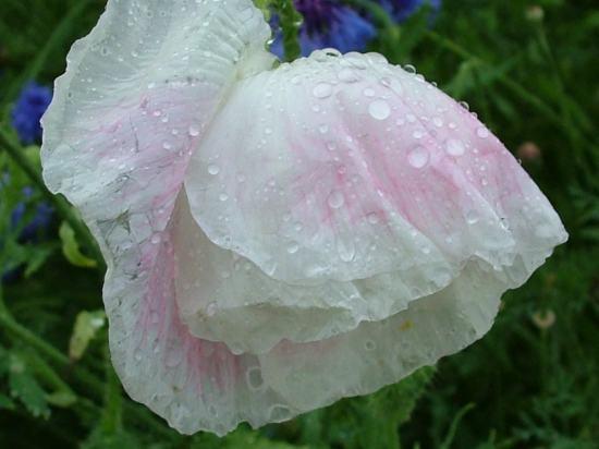 bonne nuit dans image bon nuit, jour, dimanche etc. 7art-00017_wet-white-flower