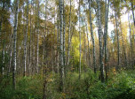 click to zoom in sunny-birches!