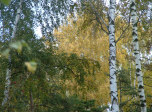 click to zoom in two-happy-birches!