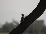 click to zoom in bended-woodpecker!